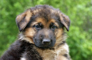 Alsatian Photos - German Shepherd Puppy by Sandy Keeton