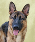 German Shepherd Print by Sandy Keeton