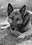 Yuri Santin - German shepherd