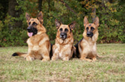 Alsatian Framed Prints - German Shepherds - Family Portrait Framed Print by Sandy Keeton
