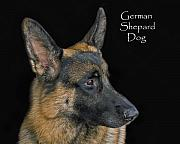 German Shepard Framed Prints - German Shhepard Dog Framed Print by Larry Linton