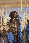 Cattail Photos - German Shorthair On Point -  D000897 by Daniel Dempster