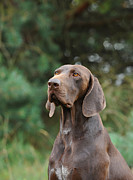 Shorthaired Photos - German shorthaired pointer by Waldek Dabrowski