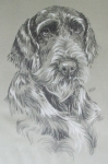 Purebred Drawings - German Wire-Haired Pointer by Barbara Keith