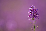 Lavender Blossom Posters - Germany, Bavaria, Dames Rocket Flowers (hesperis Matronalis), Close-up Poster by Fotofeeling