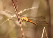 Yellow Dragonfly Posters - Get My Good Side Poster by Carol Groenen