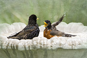 American Robin Posters - Get Out of My Bath Poster by Betty LaRue
