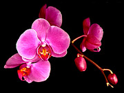 Jean Noren Framed Prints - Get well orchids Framed Print by Jean Noren