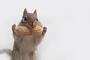 Chipmunk Photos - Get Your Hands Up by Lori Deiter