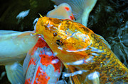 Koi Ponds Photos - Getting A Closer Look by Jan Amiss Photography