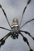 Fangs Posters - Getting To Know A Golden Orb Weaver Poster by Kimberly Mohlenhoff