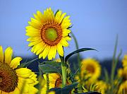 Sunflower Decor Prints - Getting to the sun Print by Amanda Barcon