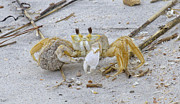 Pincher Framed Prints - Ghost Crab Framed Print by Betsy A Cutler East Coast Barrier Islands