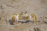 Crustacean Art - Ghost Crab by Kenneth Albin