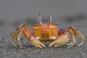 Mar2613 Art - Ghost Crab Male Costa Rica by Piotr Naskrecki