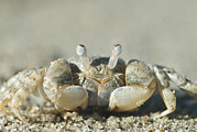 Cairns Prints - Ghost Crab On Beach In Cairns Print by Brooke Whatnall