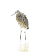 Sanibel Island Prints - Ghost Of The Blue Heron Print by LaMarre Labadie