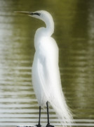 Egret Photo Prints - Ghost of the Egret Print by Emily Stauring