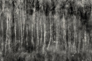 Bare Trees Prints - Ghost of The Forest Print by Thomas Schoeller