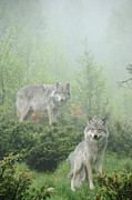 Grey Wolf Framed Prints - Ghosts of the forest Framed Print by Andy-Kim Moeller