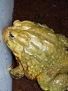 Vet Originals - Giant African Bullfrog by Warren Thompson