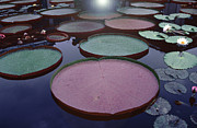 All - Giant Amazon Lily Pads by Tom Wurl