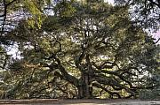 Live Oak Tree Prints - Giant Angel Oak Tree Charleston SC Print by Dustin K Ryan