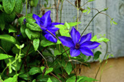 Star Barn Photos - Giant Blue Clematis by Douglas Barnett