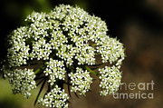 Saint Catherine Photo Posters - Giant Buckwheat Flower Poster by Raul Gonzalez Perez