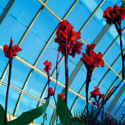 Canna Posters - Giant Canna Lilly Poster by David Klaboe