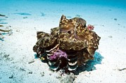 Marine Mollusc Posters - Giant Clam On The Sea Bed Poster by Georgette Douwma