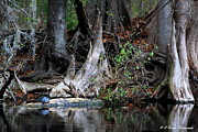 Cypress Knees Photos - Giant Cypress Knees by Barbara Bowen