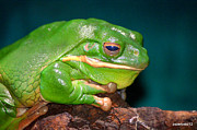 Golden Eyes Originals - Giant Frog . Litoria Infrafrenata by Paulo Zerbato