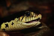 Scott Hovind - Giant Hognose Snake 2