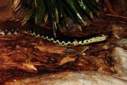 Scott Hovind - Giant Hognose Snake