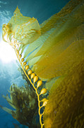 Catalina Prints - Giant Kelp, Catalina Island, California Print by Todd Winner