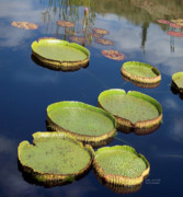 Lily Mixed Media - Giant Lily Pads by Carol Cavalaris