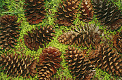 Pods Framed Prints - Giant Longleaf Pine Cones Framed Print by Raymond Gehman