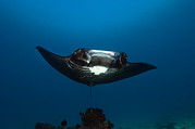 Ray Fish Prints - Giant Manta Ray Print by Matthew Oldfield