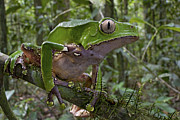 Mar2613 Art - Giant Monkey Frog In Rainforest Surinam by Piotr Naskrecki