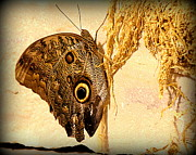 Black Photographs Prints - Giant Owl Butterfly - 1 Print by Tam Graff