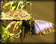 Butterfly On Flower Posters - Giant Owl Butterfly and Blue Morpho Butterfly Poster by Tam Graff