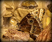 Black Photographs Prints - Giant Owl Butterfly in Sepia Print by Tam Graff