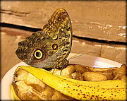 Butterfly Photographs Posters - Giant Owl Butterfly on Fruit Poster by Tam Graff