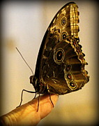 Black Photographs Prints - Giant Owl Butterfly On My Finger Print by Tam Graff