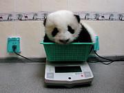 Giant Panda Ailuropoda Melanoleuca Baby Print by Katherine Feng