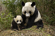 Two Animals Framed Prints - Giant Panda Ailuropoda Melanoleuca Framed Print by Katherine Feng