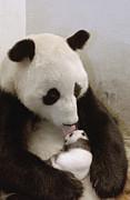 Giant Panda Ailuropoda Melanoleuca Xi Print by Katherine Feng