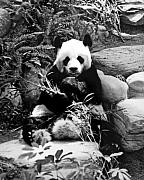 Chris Smith - Giant Panda in Black and...