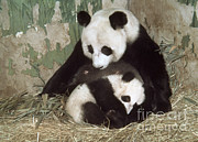 Giant Panda Posters - Giant Pandas Poster by Nature Source